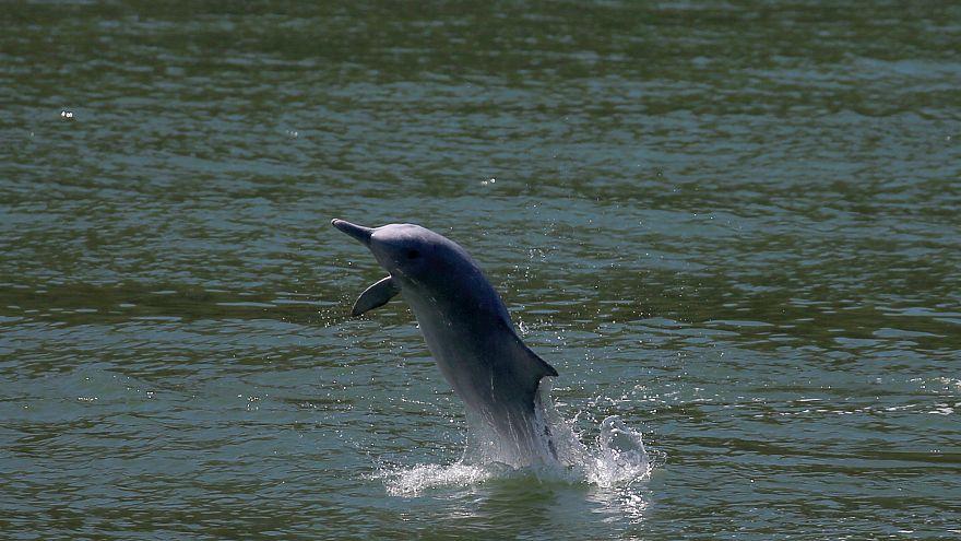 Ein weißer Delphin in Hong Kong