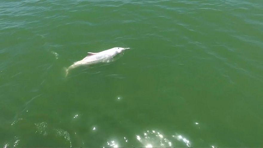 الدلافين الوردية تصارع من أجل البقاء بسبب جسر الصين-هونغ كونغ