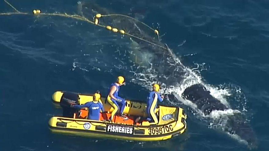 Baleia jubarte libertada das redes de tubarões na costa da Austrália