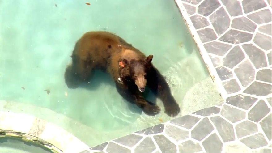شاهد: دب شارد يستحم في بركة سباحة منزل فاخر في كاليفورنيا