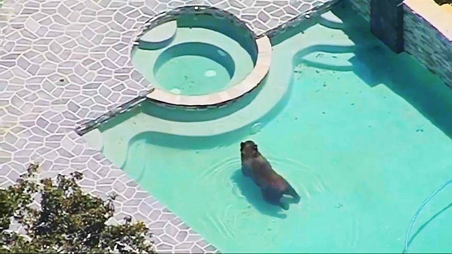 Wild bear cools off in Los Angeles swimming pool