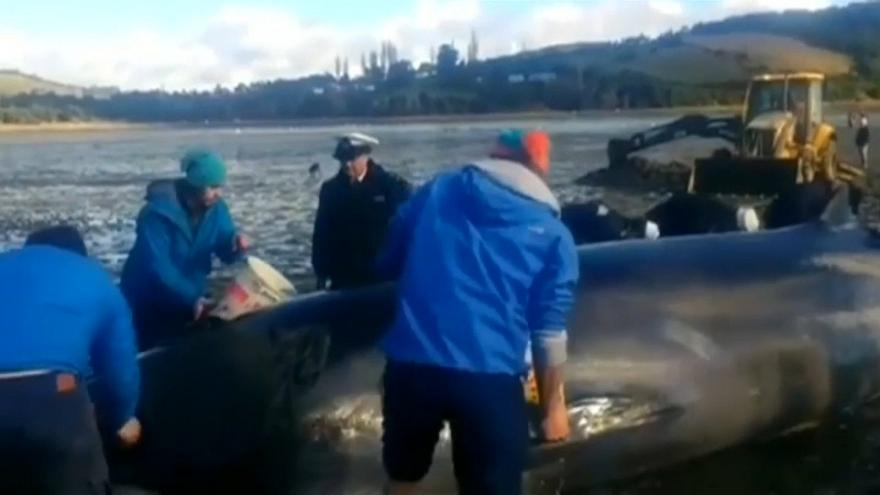 شاهد: إنقاذ حوت طوله 10 أمتار جنح على شاطئ تشيلي