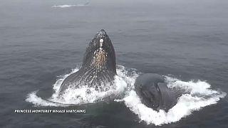 نهنگهای گوژپشت در نزدیکی قایق توریستهای خلیج کالیفرنیا