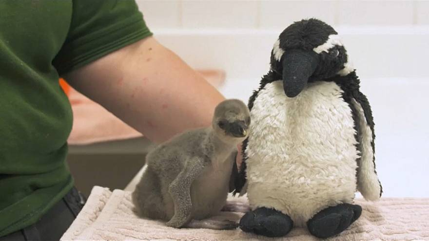 Premature baby penguin saved at London Zoo