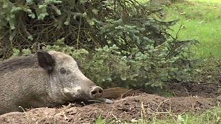 Danzig: Wildschweine machen es sich zwischen Wohnblocks bequem