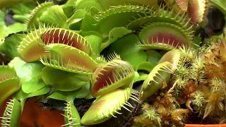 نباتات تتغذى على الحشرات