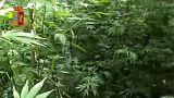 Calabria, l'erba della ndrangheta. Anche i droni per coltivare 26.000 piante di marijuana