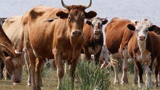 Hindistan'da köyüne inek götüren bir Müslüman dövülerek öldürüldü