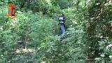 Χασισοφυτείες-μαμούθ εντοπίστηκαν στην Καλαβρία