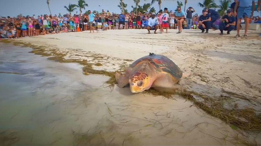 فلوریدا؛ دو لاکپشت پس از بهبودی به دریا بازگشتند
