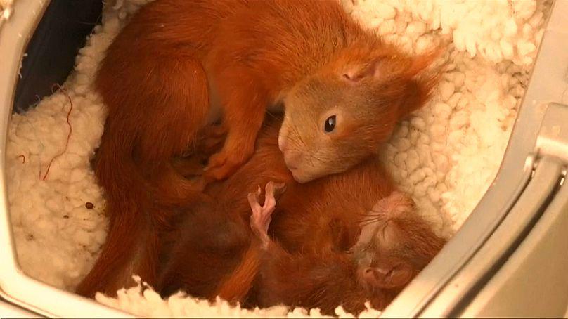Eichhörnchen gereift Japanische Sexualsprache