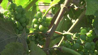 Guerre commerciale : l'inquiétude des viticulteurs californiens