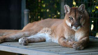 چرت شش ساعته یک شیر کوهی روی کاناپه خانهای در آمریکا