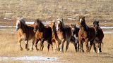 Vahşi Batı'da atlar kuraklık nedeniyle yok olma tehlikesiyle karşı karşıya