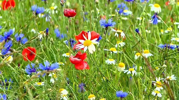 Castelluccio de Nurcia y sus flores