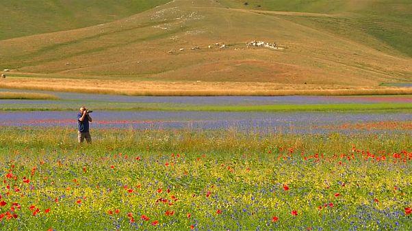 شاهد : جمال الأزهار الملونة في سهل كاستيلو تشيو الإيطالي