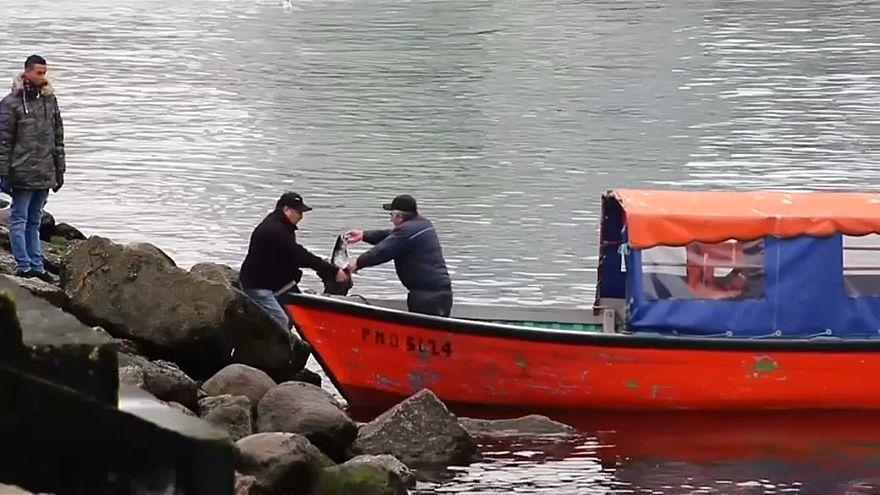 """В Чили фермерский лосось """"сбежал"""" в море"""