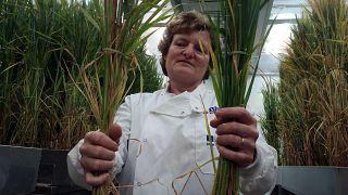 Nueva derrota para los Organismos Genéticamente Modificados (OGM)