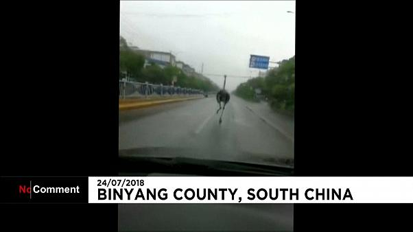 Free bird: Ostrich escapes farm in south China