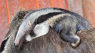 Naissance d'un bébé fourmilier au zoo de Francfort