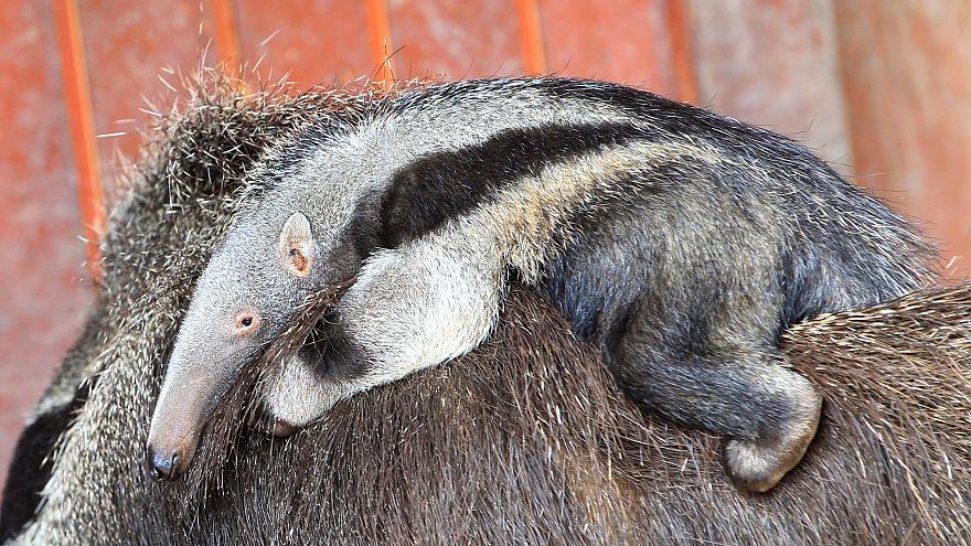 Ameisenbär im Frankfurter Zoo geboren