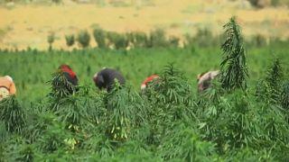 Liban : le cannabis pour relancer l'économie?