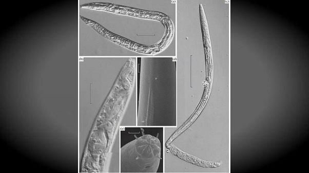 """Scienziati """"scongelano"""" e fanno risorgere vermi di 42mila anni fa"""