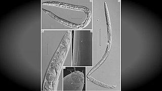 Forscher beleben eingefrorene Würmer wieder - nach 42.000 Jahren
