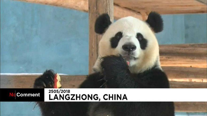 A kínai óriáspandák is megsínylik a kánikulát