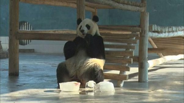 Послеполуденный отдых панд
