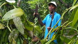 La vanille de Madagascar, une épice de luxe convoitée