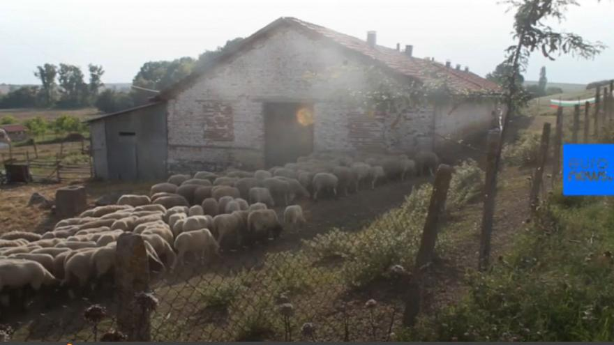 Bulgarian farmers devastated over 'sheep and goat plague' slaughter