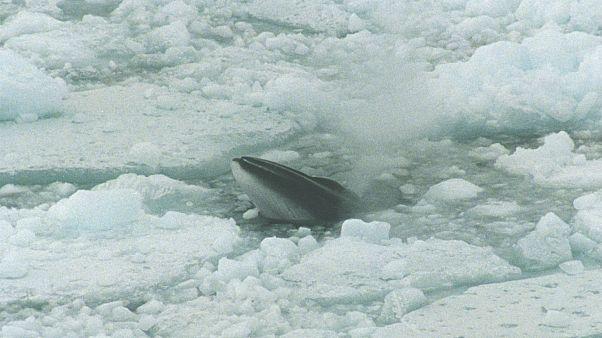 Nem vadásznak többé csukabálnára az izlandi halászok