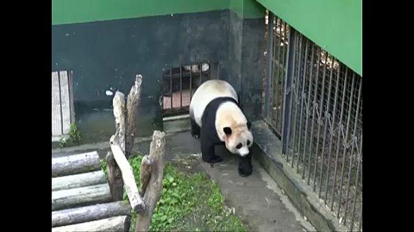 Pandaikrek születtek Kínában