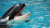 Thomas Cook'tan hayvan hakları hamlesi: Katil balina gösteri biletleri satılmayacak