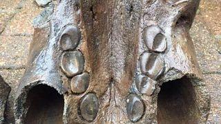 British man unearths rare Ice Age walrus skull on dog walk