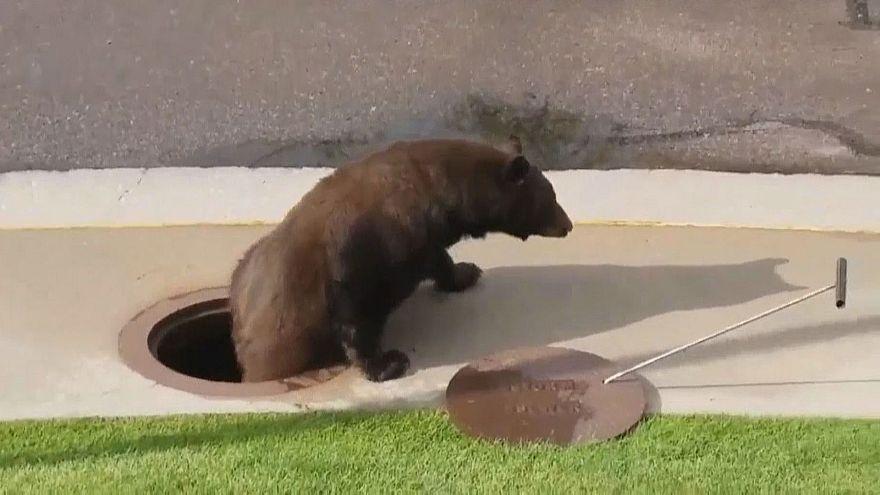 Bär steigt aus Gully