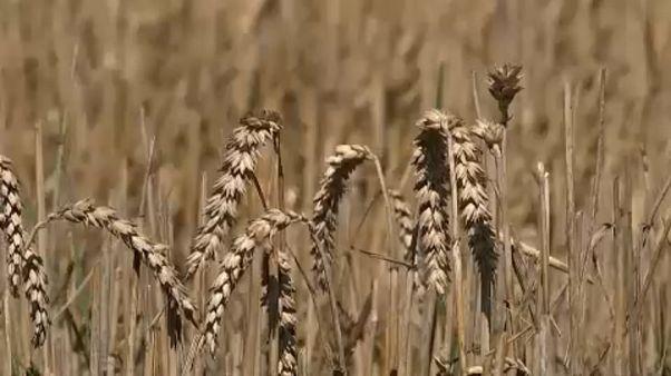 Οικονομική ενίσχυση λόγω...καύσωνα ζητούν οι Γερμανοί αγρότες
