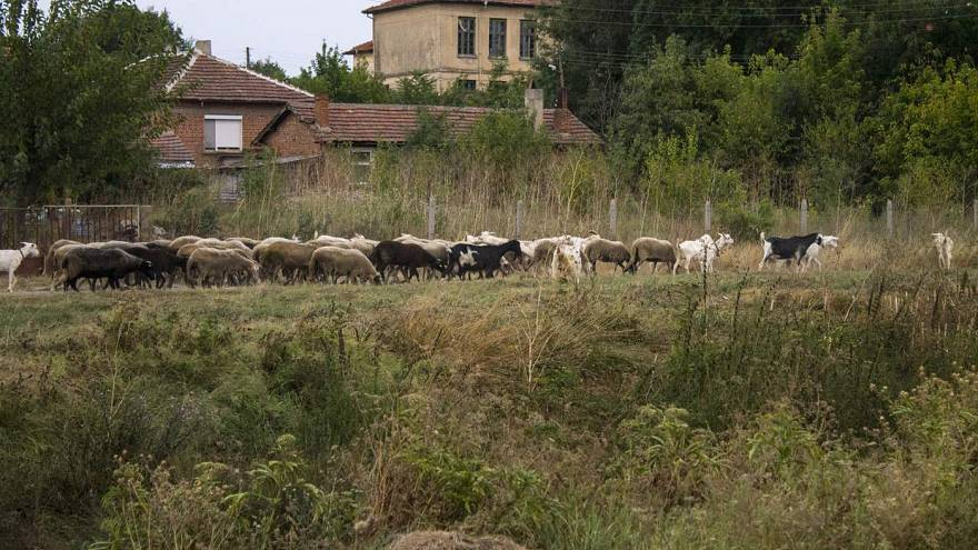 Sheep and goats facing slaughter in Bulgaria