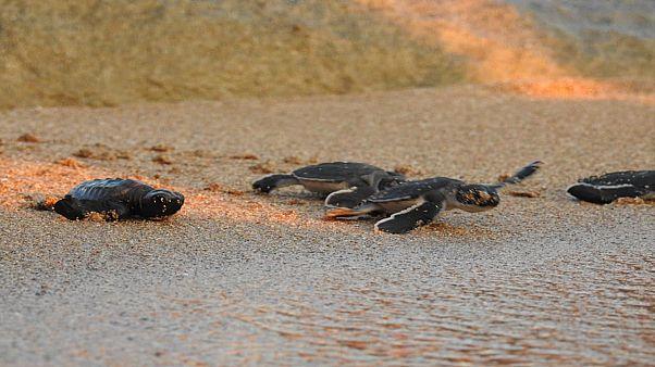 Νεογέννητες πράσινες χελώνες και καρέτα καρέτα κολυμπούν στη Μεσόγειο