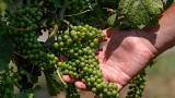 Két héttel korábban kezdődik a szüret az egri és a mátrai borvidéken