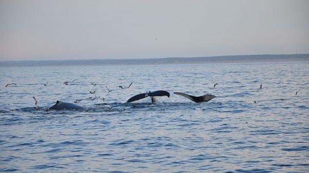 Anne katil balina ölen yavrusunu bir haftadır sırtında taşıyor