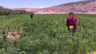 مزارعو الحشيش في لبنان يعترضون على محاولات تقنينه
