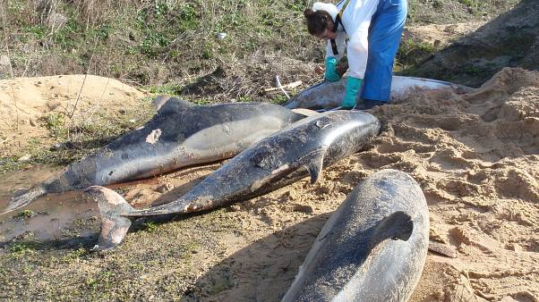 Hundreds of dolphins wash up dead on French beaches every year.