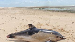 Toter Delfin mit angetrennter Schwanzflosse am Strand der Ile de Ré