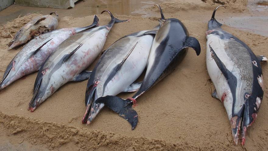 Francia, centinaia di delfini morti sulle spiagge: vittime collaterali della pesca