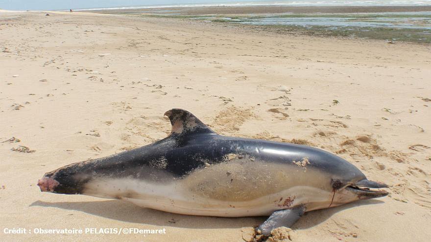 Hatalı avlanma nedeniyle Fransa'da her yıl yüzlerce ölü yunus kıyaya vuruyor