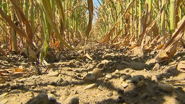 Warnings of food prices increases due to European drought
