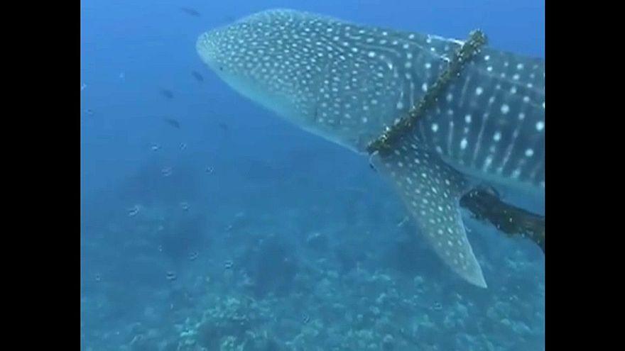 El rescate de un tiburón atrapado en una red de pesca