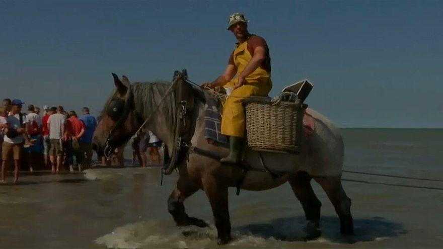 """شاهد: تقليد صيد """"ثمار البحر"""" أثناء ركوب الخيول في بلجيكا"""